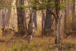 Cerf axis dressé sur ses pattes arrière. Source : http://data.abuledu.org/URI/5505f2fd-cerf-axis-dresse-sur-ses-pattes-arriere