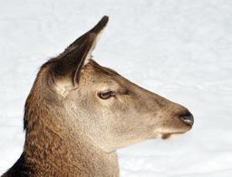 Cerf élaphe femelle. Source : http://data.abuledu.org/URI/564cd9d3-cerf-elaphe-femelle