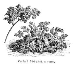 Cerfeuil frisé. Source : http://data.abuledu.org/URI/54514f30-cerfeuil-frise