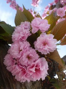 Cerisier du Japon en fleurs. Source : http://data.abuledu.org/URI/56d601af-cerisier-du-japon-en-fleurs