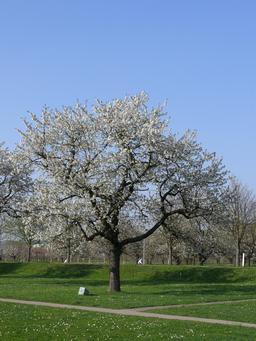 Cerisier en fleurs. Source : http://data.abuledu.org/URI/537d283e-cerisier-en-fleurs