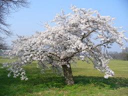 Cerisier en fleurs. Source : http://data.abuledu.org/URI/537d2957-cerisier-en-fleurs
