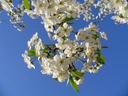 Cerisier en fleurs. Source : http://data.abuledu.org/URI/588ce935-cerisier-en-fleurs
