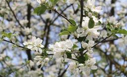 Cerisier en fleurs au printemps. Source : http://data.abuledu.org/URI/532c40e2-cerisier-en-fleurs-au-printemps