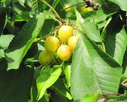 Cerisier et cerises. Source : http://data.abuledu.org/URI/532c3f8a-cerisier-et-cerises
