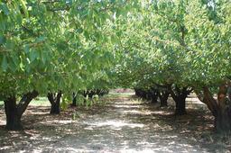 Cerisiers. Source : http://data.abuledu.org/URI/5908f80c-cerisiers