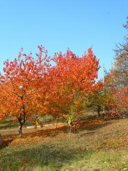 Cerisiers en automne. Source : http://data.abuledu.org/URI/537d28e3-cerisiers-en-automne