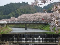 Cerisiers en fleurs au Japon. Source : http://data.abuledu.org/URI/537d2d52-cerisiers-en-fleurs-au-japon