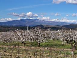 Cerisiers et vignes du Ventoux. Source : http://data.abuledu.org/URI/537d2fa7-cerisiers-et-vignes-du-ventoux