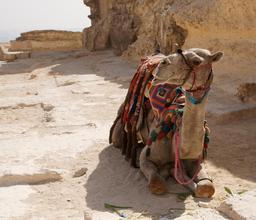 Chameau au repos. Source : http://data.abuledu.org/URI/520e1d37-chameau-au-repos
