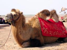 Chameau domestiqué. Source : http://data.abuledu.org/URI/520e19cb-chameau-domestique