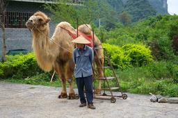 Chameau pour touristes. Source : http://data.abuledu.org/URI/520e1a6b-chameau-pour-touristes