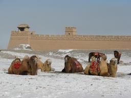 Chameaux au repos. Source : http://data.abuledu.org/URI/516aeb07-chameaux-au-repos