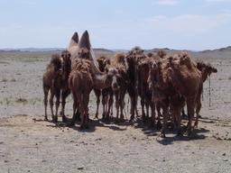 Chamelle et ses chamelons. Source : http://data.abuledu.org/URI/520e1e24-chamelle-et-ses-chamelons