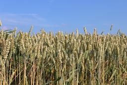 Champ de blé en été. Source : http://data.abuledu.org/URI/5907966d-champ-de-ble-en-ete
