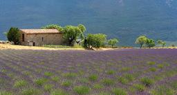 Champ de lavande en Provence. Source : http://data.abuledu.org/URI/51c9f8ce-champ-de-lavande-en-provence