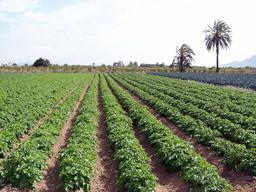 Champ de pommes de terre. Source : http://data.abuledu.org/URI/505dd11d-champ-de-pommes-de-terre