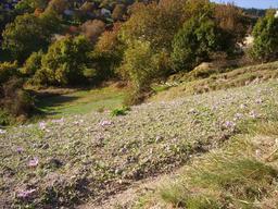 Champ de safran en Suisse. Source : http://data.abuledu.org/URI/573a9bb7-champ-de-safran-en-suisse