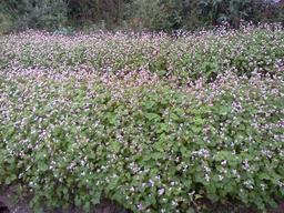 Champ de sarrasin en fleurs au Népal. Source : http://data.abuledu.org/URI/54ba89b0-champ-de-sarrasin-en-fleurs-au-nepal