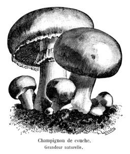 Champignon de couche. Source : http://data.abuledu.org/URI/5451531c-champignon-de-couche
