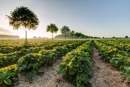 Champs de fraisiers en juin. Source : http://data.abuledu.org/URI/56864f60-champs-de-fraisiers-en-juin