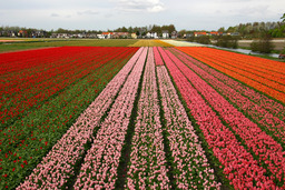 Champs de tulipes en Hollande. Source : http://data.abuledu.org/URI/50198970-champs-de-tulipes-en-hollande