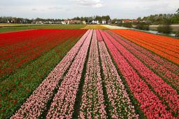 Champs de tulipes en Hollande. Source : http://data.abuledu.org/URI/50198970-champs-de-tulipes-en-hollande
