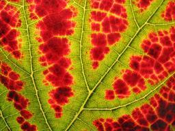 Changement de couleur d'une feuille de vigne en automne. Source : http://data.abuledu.org/URI/52784da1-changement-de-couleur-d-une-feuille-de-vigne-en-automne