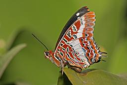Charaxes brutus natalensis.jpg. Source : http://data.abuledu.org/URI/5086967b-charaxes-brutus-natalensis-jpg