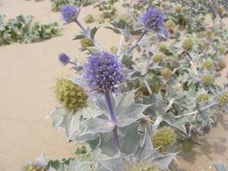 Chardon bleu des sables. Source : http://data.abuledu.org/URI/50503d17-chardon-bleu-des-sables
