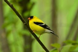 Chardonneret jaune mâle. Source : http://data.abuledu.org/URI/53569e16-chardonneret-jaune-male