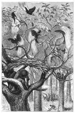 Chasseur d'oiseaux du paradis. Source : http://data.abuledu.org/URI/532cc891-chasseur-d-oiseaux-du-paradis
