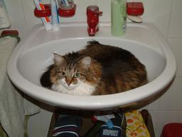Chat lové dans un lavabo. Source : http://data.abuledu.org/URI/535c0e54-chat-love-dans-un-lavabo