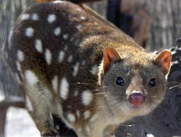 Chat marsupial australien. Source : http://data.abuledu.org/URI/50e2623e-chat-marsupial-australien