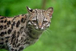 Chat-tigre. Source : http://data.abuledu.org/URI/54fe1ca4-chat-tigre