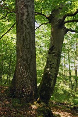 Chêne et hêtre en forêt. Source : http://data.abuledu.org/URI/53837694-chene-et-hetre-en-foret