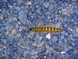 Chenille jaune et noire. Source : http://data.abuledu.org/URI/546a5b29-chenille-jaune-et-noire