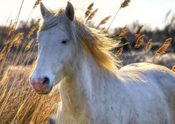 Cheval de Camargue. Source : http://data.abuledu.org/URI/55437d65-cheval-de-camargue