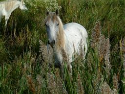 Cheval de Camargue aux Saintes-Maries-de-la-Mer. Source : http://data.abuledu.org/URI/554381e2-cheval-de-camargue-aux-saintes-maries-de-la-mer
