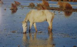 Cheval de Camargue dans le marais du Rhône. Source : http://data.abuledu.org/URI/55437e8b-cheval-de-camargue-dans-le-marais-du-rhone