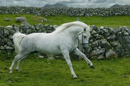 Cheval du Connemara. Source : http://data.abuledu.org/URI/554358d0-cheval-du-connemara