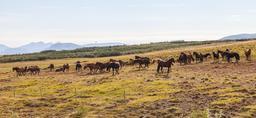 Chevaux en Islande. Source : http://data.abuledu.org/URI/54caae9b-chevaux-en-islande
