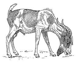 Chèvre. Source : http://data.abuledu.org/URI/53b99ed4-chevre