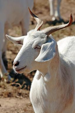 Chèvre blanche. Source : http://data.abuledu.org/URI/573cd211-chevre-blanche