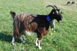 Chèvre des pyrénées. Source : http://data.abuledu.org/URI/47f50c4b-ch-vre-des-pyr-n-es