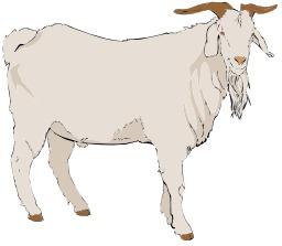 Chèvre grise. Source : http://data.abuledu.org/URI/5049b5a6-chevre-grise