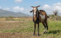 Chèvre mâle dans les Caraïbes. Source : http://data.abuledu.org/URI/53ced63c-chevre-male-dans-les-caraibes