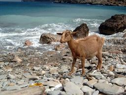 Chèvre sauvage en bord de mer. Source : http://data.abuledu.org/URI/51cbebc5-chevre-sauvage-en-bord-de-mer