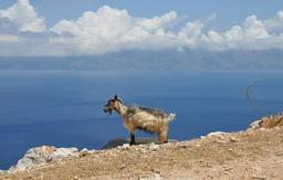 Chèvre sauvage en Crète. Source : http://data.abuledu.org/URI/51cbed0a-chevre-sauvage-en-crete