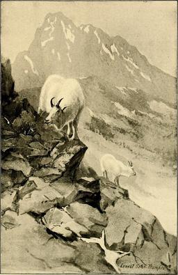 Chèvres de montagne. Source : http://data.abuledu.org/URI/587ea035-chevres-de-montagne
